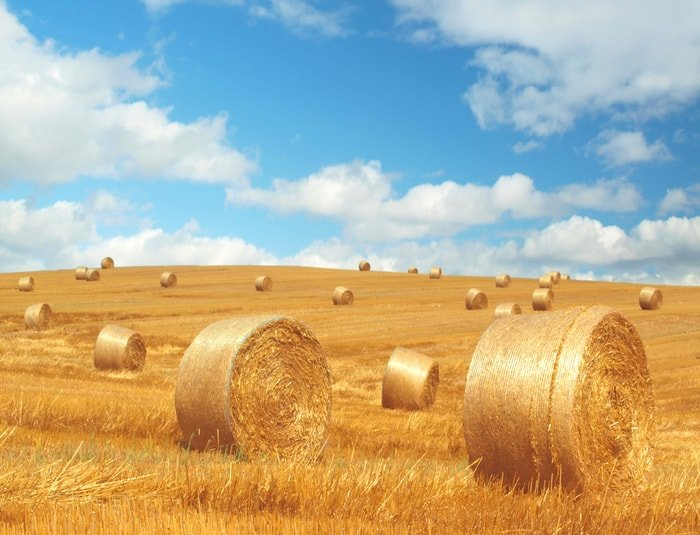 Field with rolls of hays