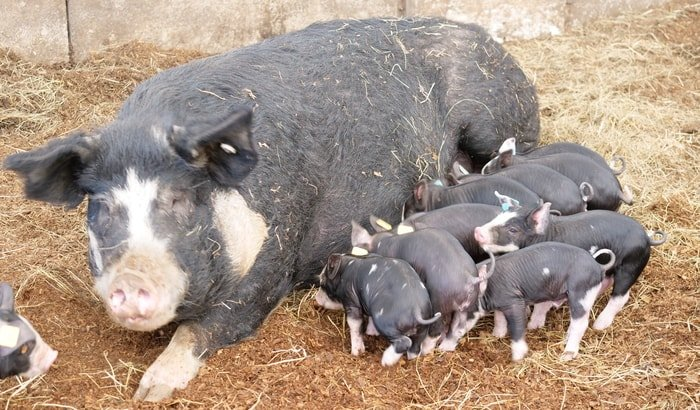 Mama pig and its youngs in a pig farm